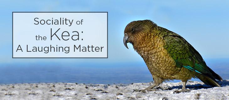 island conservation Kea