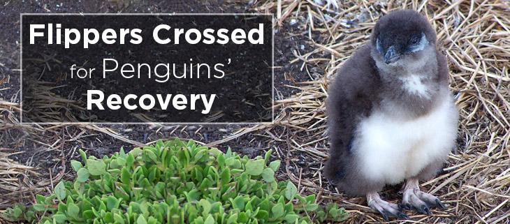 island conservation phillip island penguin