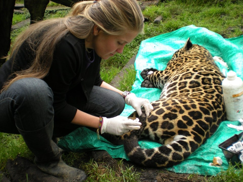 island conservation paula jaguar