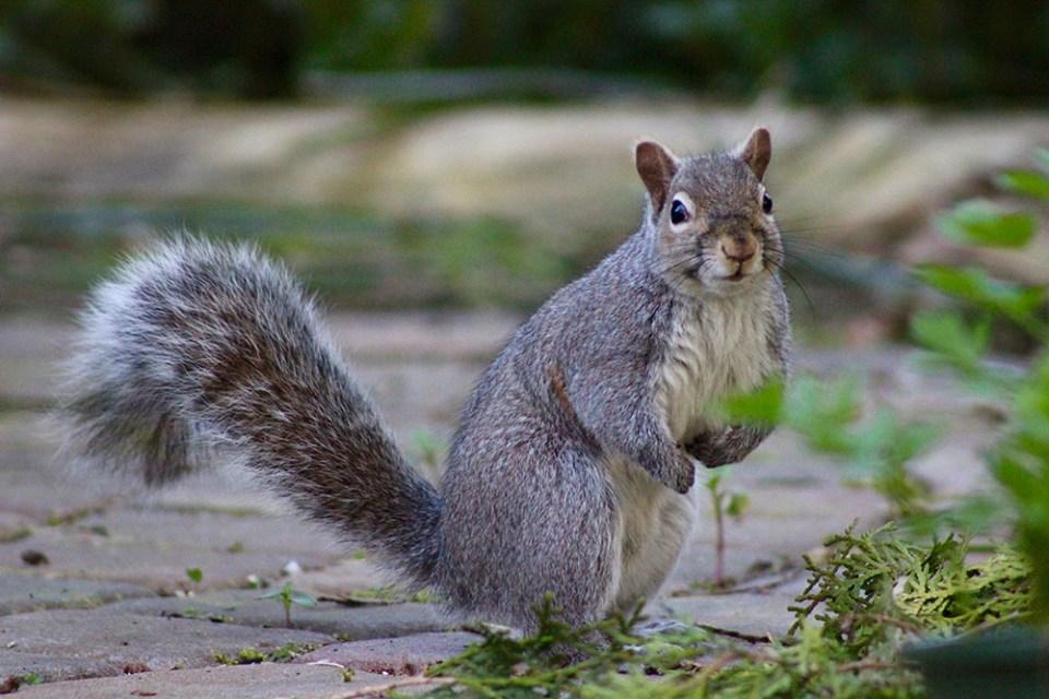 island conservation grey squirrel sara dubois british columbia
