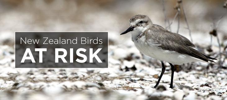 island-conservation-preventing-extinctions-new-zealand-bird-feat
