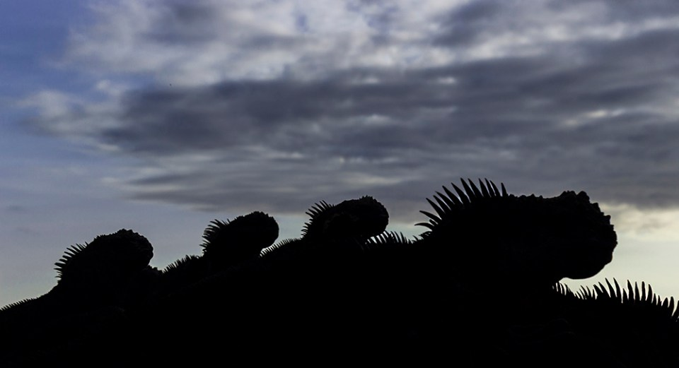 island-conservation-preventing-extinctions-marine-iguanas-floreana