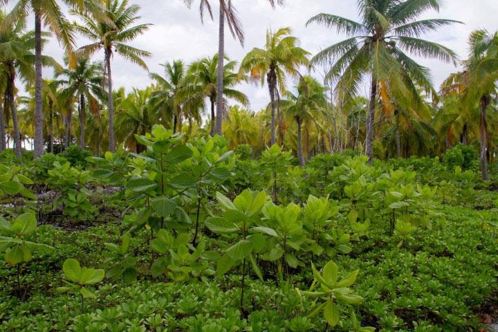 island-conservation-preventing-extinctions-plants-tenarunga
