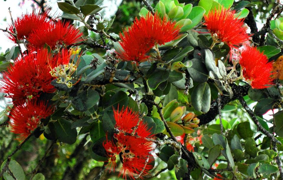 island-conservation-rapid-ohia-death-blossom