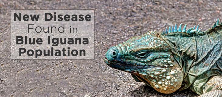 island-conservation-blue-iguana-feat