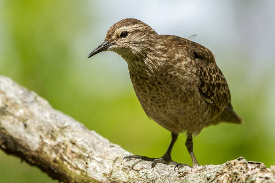 island-conservation-gene-drive-acteon-gambier-sandpiper