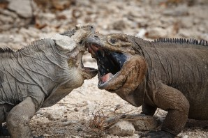 Sparring Rhinoceros Iguanas. Credit: Island Conservation