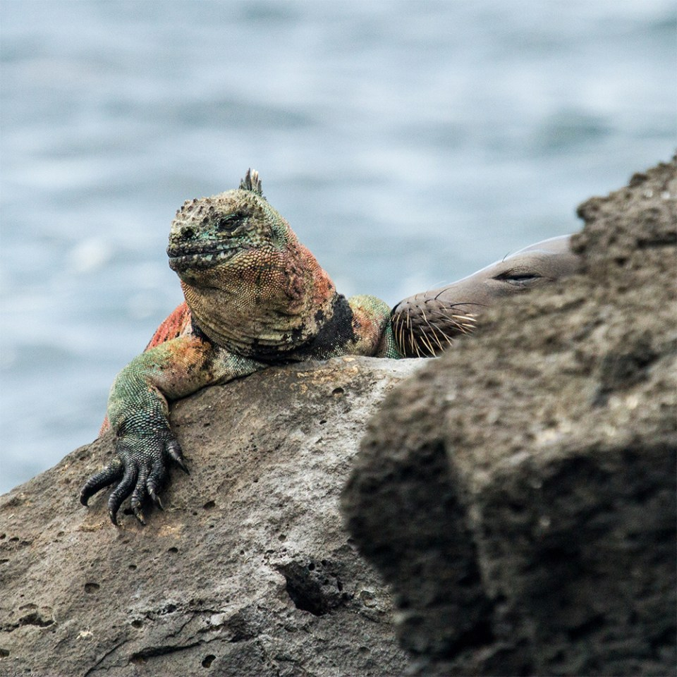 island-conservation-preventing-extinctions-giving-tuesday-marine-iguana