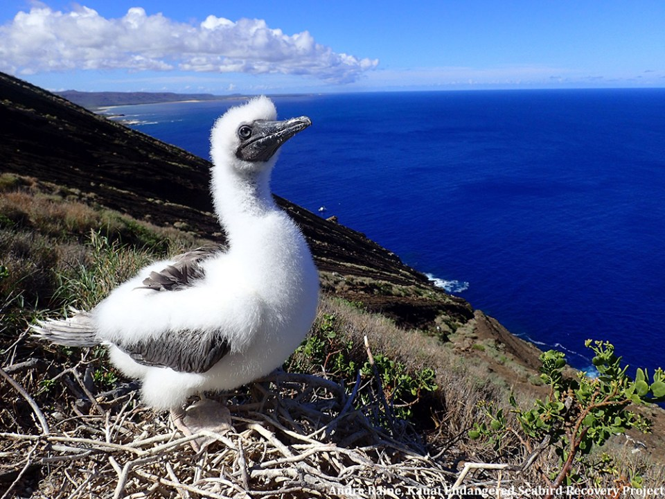 island-conservation-preventing-extinctions-juvenile-booby