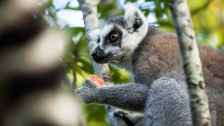 island-conservation-ring-tailed-lemur