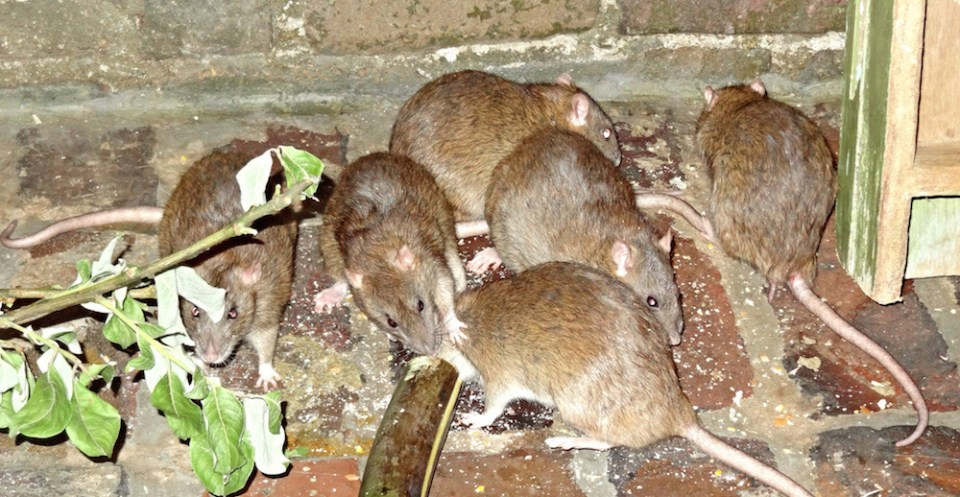 island-conservation-invasive-rats