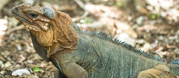 island-conservation-invasive-species-preventing-extinctions-mona-island-iguana-feat