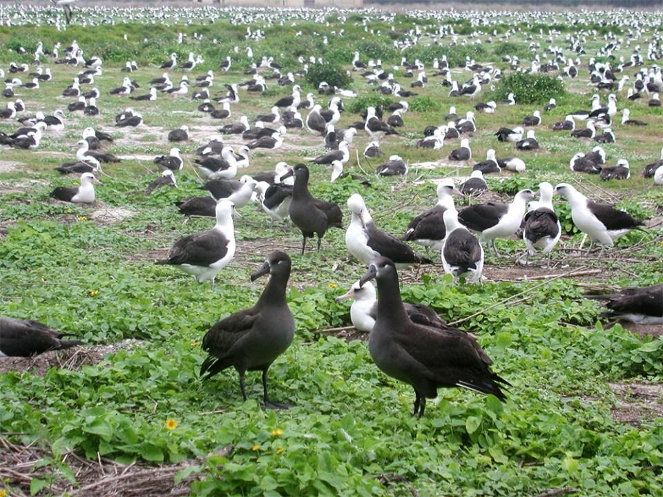 island-conservaton-invasive-mice-midway-atoll-albatross