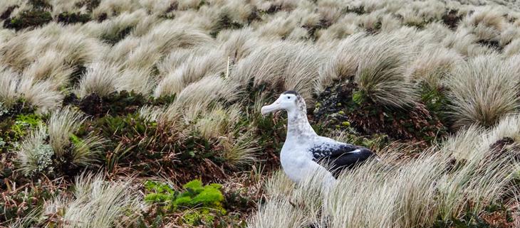 island-conservation-invasive-species-preventing-extinctions-antipodes-update-wandering-albatross-feat