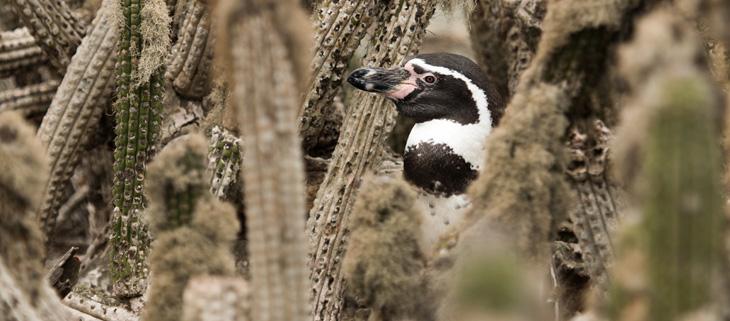 island-conservation-invasive-species-preventing-extinctions-choros-chanaral-humboldt-penguin-feat