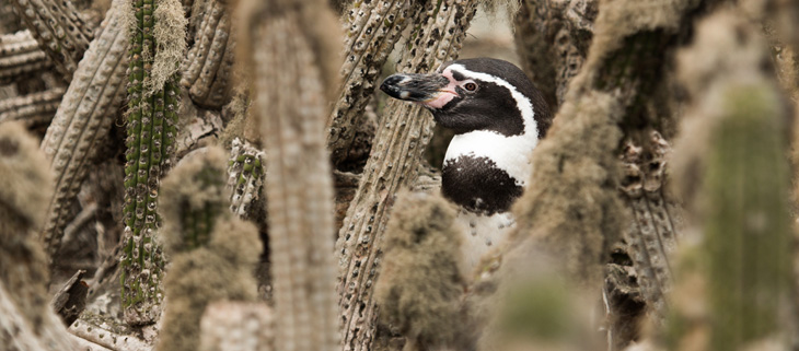island-conservation-invasive-species-preventing-extinctions-choros-chanaral-humboldt-penguin-feat