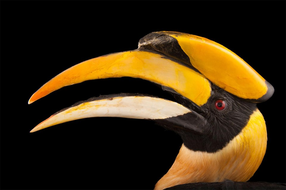 island-conservation-preventing-extinctions-invasive-species-hornbill-photo-ark