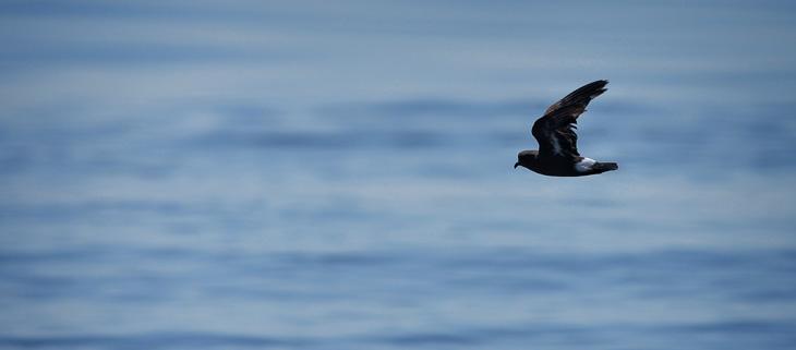 island-conservation-preventing-extinctions-invasive-species-Shiant-Islands-Storm-Petrel-Feat