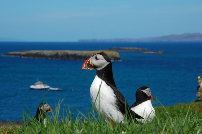 island-conservation-preventing-extinctions-invasive-species-tracks-Shiant-Islands-Puffins