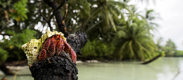 island-conservation-invasive-species-preventing-extinctions-palmyra-atoll-hope-spot-hermit-crab-feat