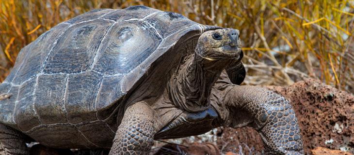 island-conservation-invasive-species-preventing-extinctions-pinzon-giant-tortoise-green-list-conservation-success