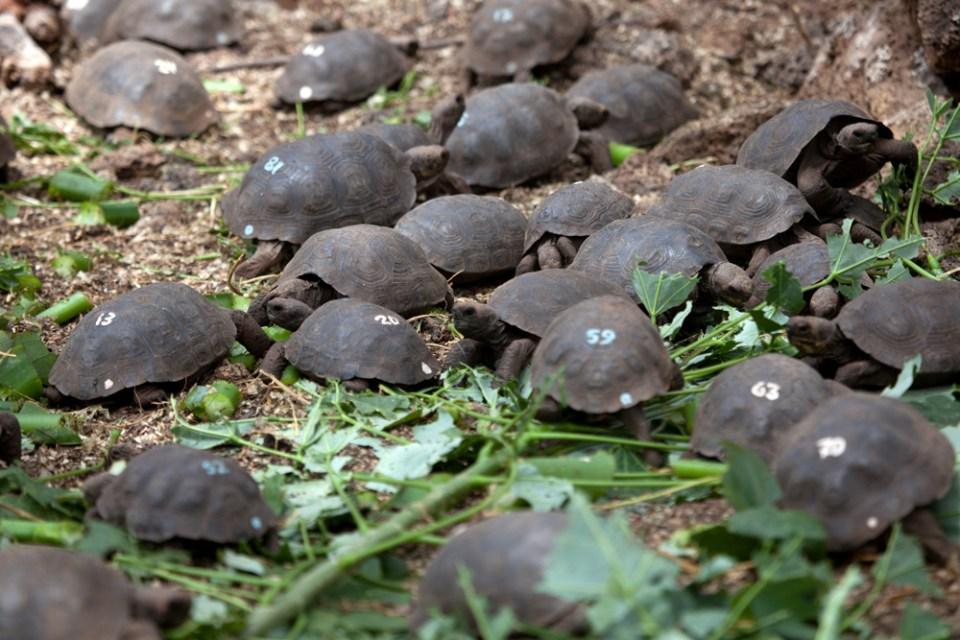 island-conservation-invasive-species-preventing-extinctions-pinzon-giant-tortoise-hatchlings