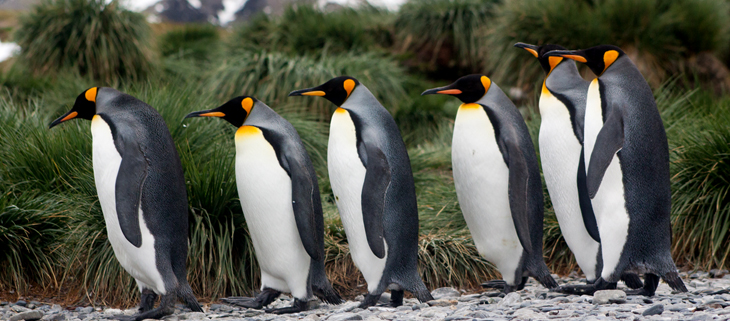 island-conservation-invasive-species-preventing-extinctions-king-penguin-south-georgia-island-feat