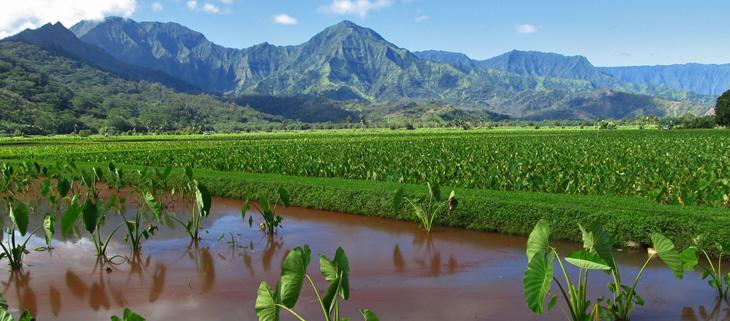 island-conservation-invasive-species-preventing-extinctions-rose-ringed-parakeet-kauai-taro-field-feat