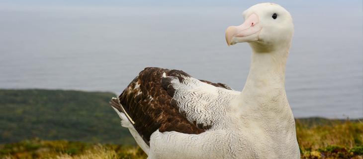 island-conservation-invasive-species-preventing-extinctions-seabird-national-geographic-tristan-albatross-gough-island-feat