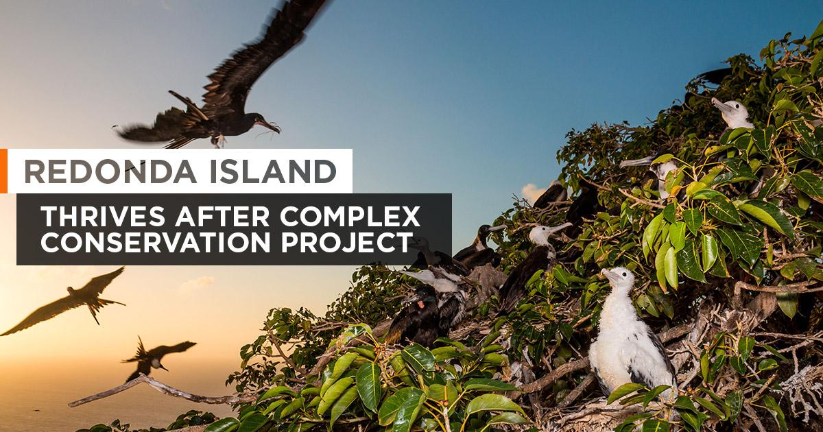 Island Conservation Invasive Species Preventing Extinctions Magnificent Frigatebird