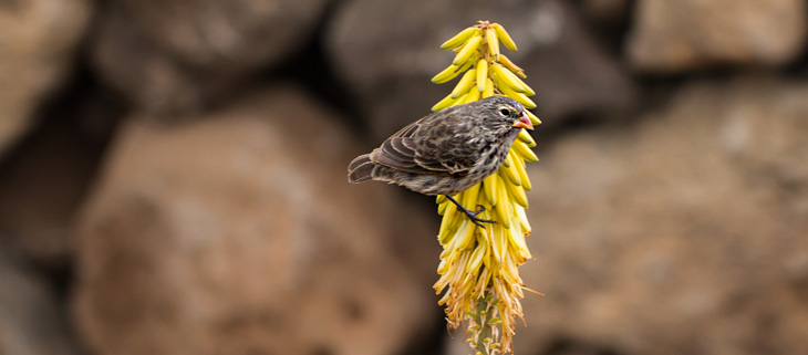 island-conservation-invasive-species-preventing-extinctions-galapagos-finch-evolution-feat