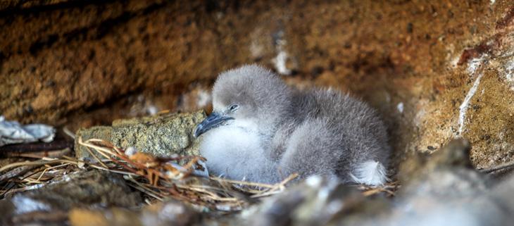 island-conservation-invasive-species-preventing-extinctions-lehua-restoration-project-lehua-island-newells-shearwater-feat