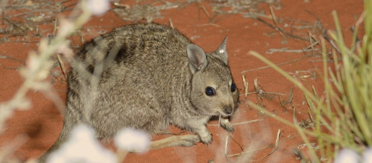 island-conservation-invasive-species-preventing-extinctions-dirk-hartog-island-wallaby