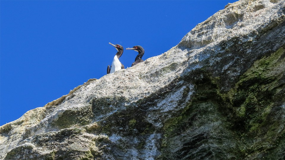 island-conservation-invasive-species-preventing-extinction-seabird-Guanay-Cormorants-Chile