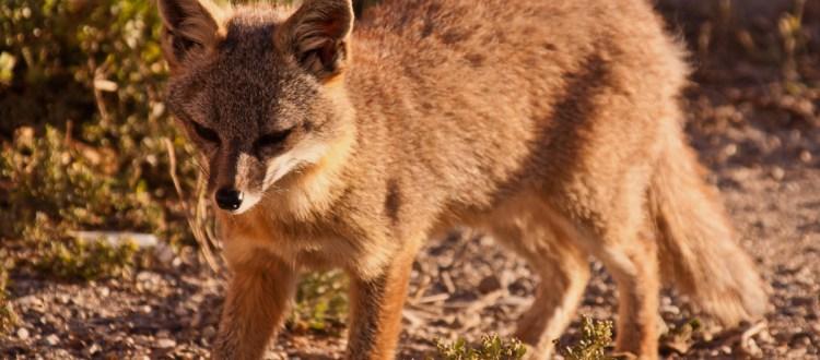 island-conservation-invasive-species-preventing-extinctions-California-channel-island-fox-san-nicolas-island