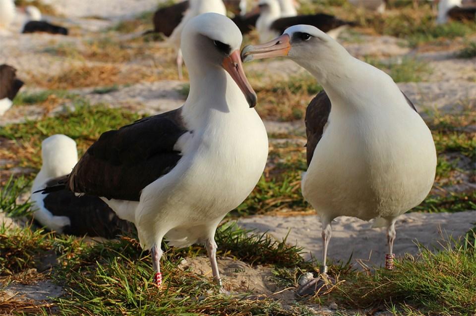 island-conservation-invasive-species-preventing-extinctions-wisdom-laysan-albatross-mate