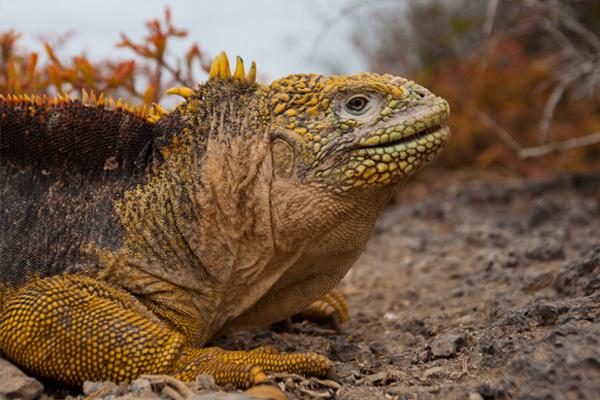 Galápagos Land Iguanas Return to Santiago
