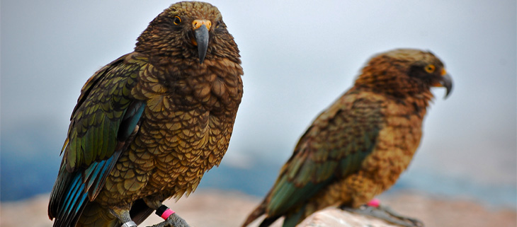island-conservation-invasive-species-preventing-extinctions-new-zealand-kea-feat