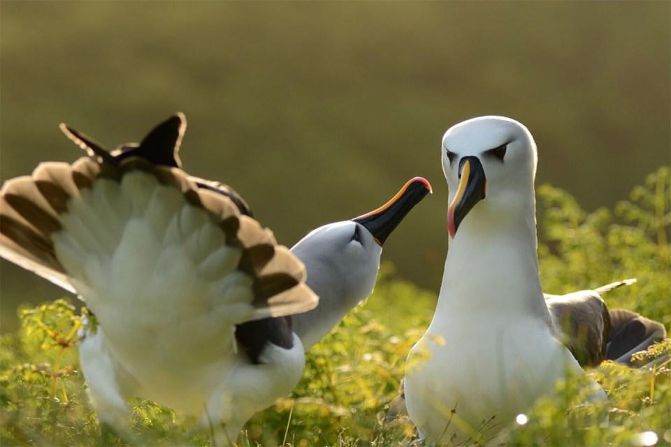 Island Conservation science preventing extinctions nick holmes et al