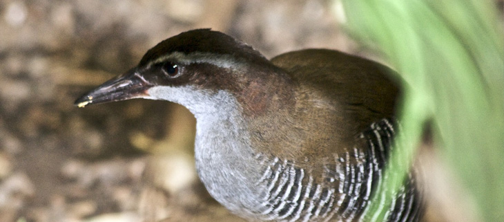 island-conservation-preventing-extinctions-guam-rail-feat