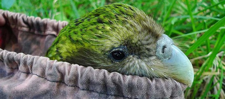 island-conservation-preventing-extinctions-the-kakapo-feat