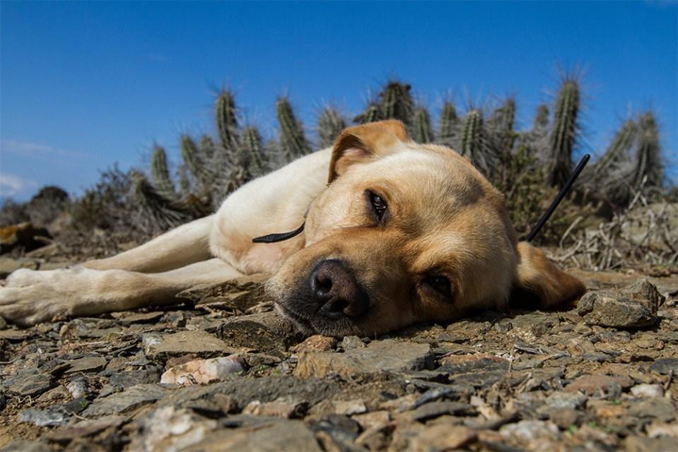 island-conservation-preventing-extinctions-finn-the-wonder-dog-south-georgia
