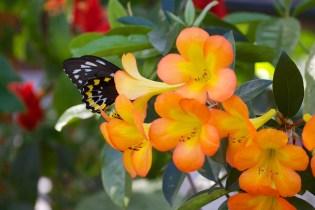 butterfly  022
