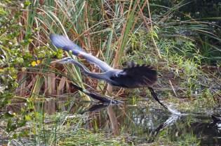 great blue heron  009
