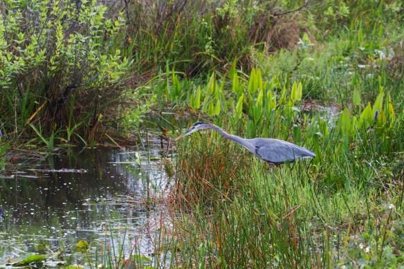 great blue heron  011