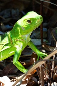 lizard  003