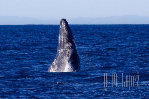 Whales SD  087