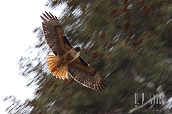 Sequoia  031