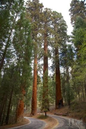 Sequoia 033