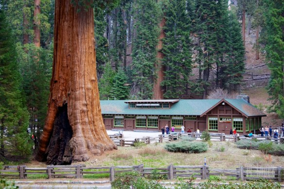 Sequoia  036